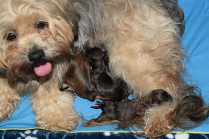 lhasa-apso puppies